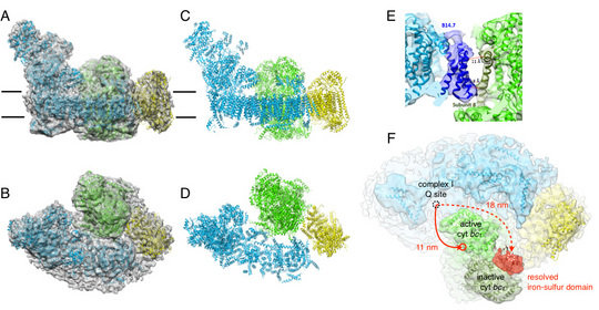 Figure. Single-particle cryoEM structure of the bovine mitochondrial respirasome.