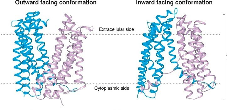 Here, we present the crystal structure of a MATE transporter > more